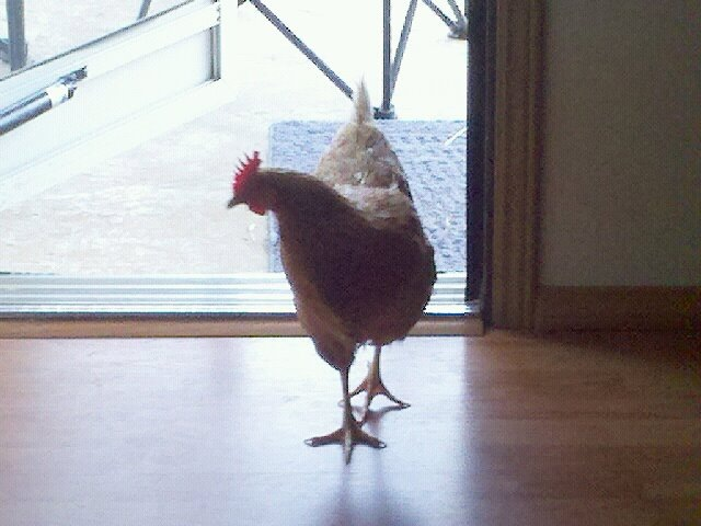 Gertie-The-OFFICIAL-KY-Marijuana-Party-Chicken.jpg