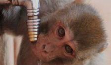 drinking-monkey